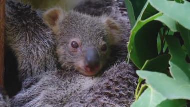 pui-koala-sidney-facebook -2