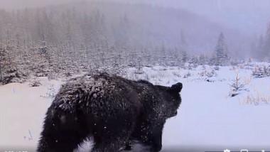Urși filmați în timp ce inspectează o cameră de monitorizare a faunei