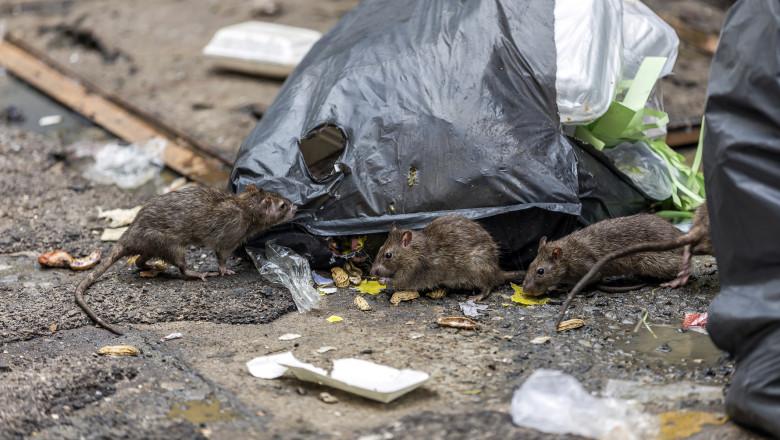 Carantina a transformat Londra într-un paradis al șobolanilor