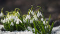 Snowdrop flowers blooming in winter