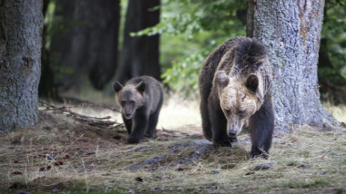 Big bear and bear whelp outcoming from the forest in Romania, Lake St Ana..