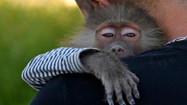 maimuță pe umăr