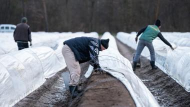 muncitori români la o fermă de sparanghel în Germania. Foto: Profimedia Images