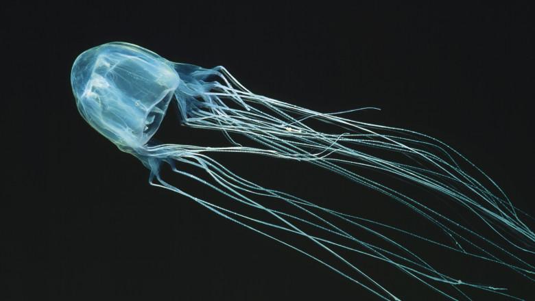 meduză cu cutie