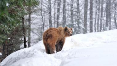 Urs în zăpadă