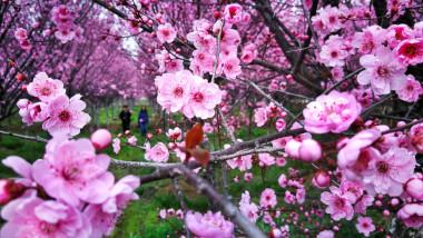 ciresi infloriti vreme calda in aprilie