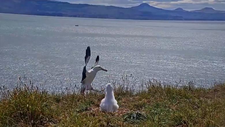 albatros cade