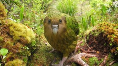 papagalul kakapo