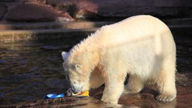 Urșii polari își procură tot mai greu hrana.
