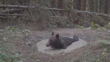 Un urs a fost surprins în timp ce se bălăcește într-o baltă, în Parcul Național Ceahlău.