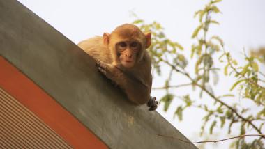 o maimuta pe acoperisul unei statii de autobuz din new delhi, india.