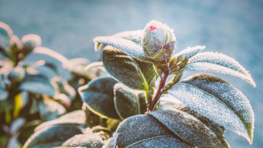 Camellia plant bud and leaves on a frost cold morning in winter