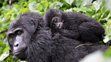 O gorilă își ține puiul pe spate.