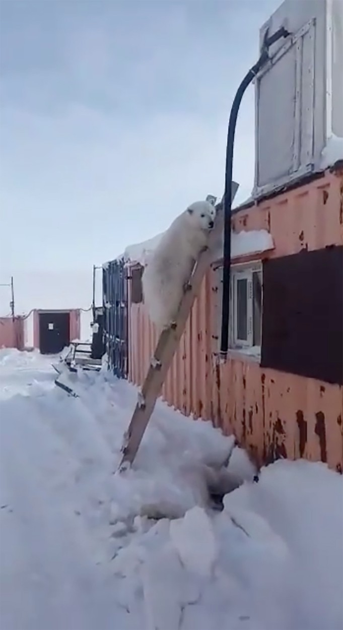 Helicopter mercy mission saves polar bear cub tamed 'like a dog' by gold miners on remote Arctic island