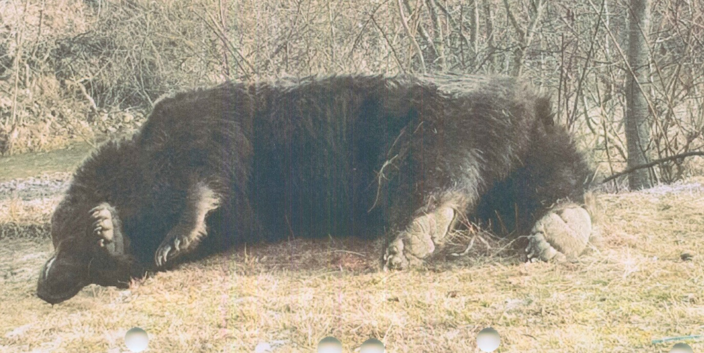 """Agent Green: Cel mai mare urs din România, Arthur, a fost ucis de un prinț din Austria. """"Avem de-a face cu o partidă de braconaj"""""""