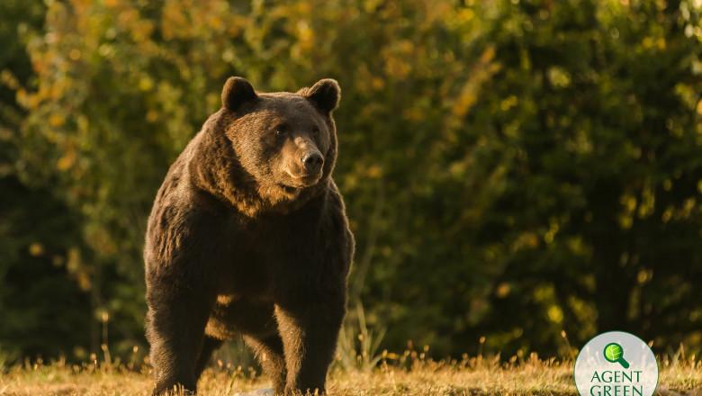 Arthur, regele urșilor din România sursa agent green
