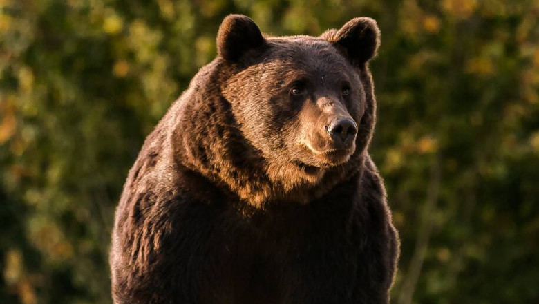 ursul arthur - agent green
