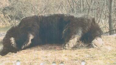 ursul arthur ucis agent green