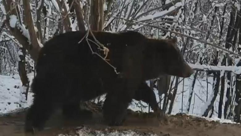 ursoaica ina