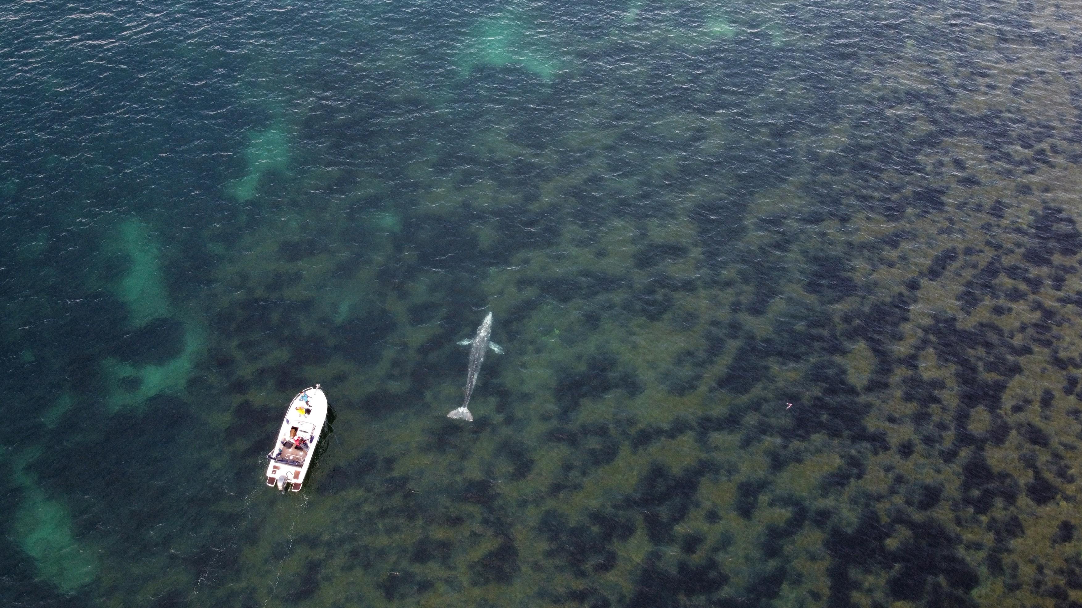 """VIDEO Waly, o balena cenusie, s-a ratacit in Mediterana si incearca cu disperare sa se intoarca in Pacific. """"Este doar piele si os"""""""