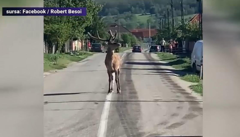 VIDEO. Aparitie surprinzatoare intr-un sat din Gorj. Un cerb si-a facut aparitia pe o strada