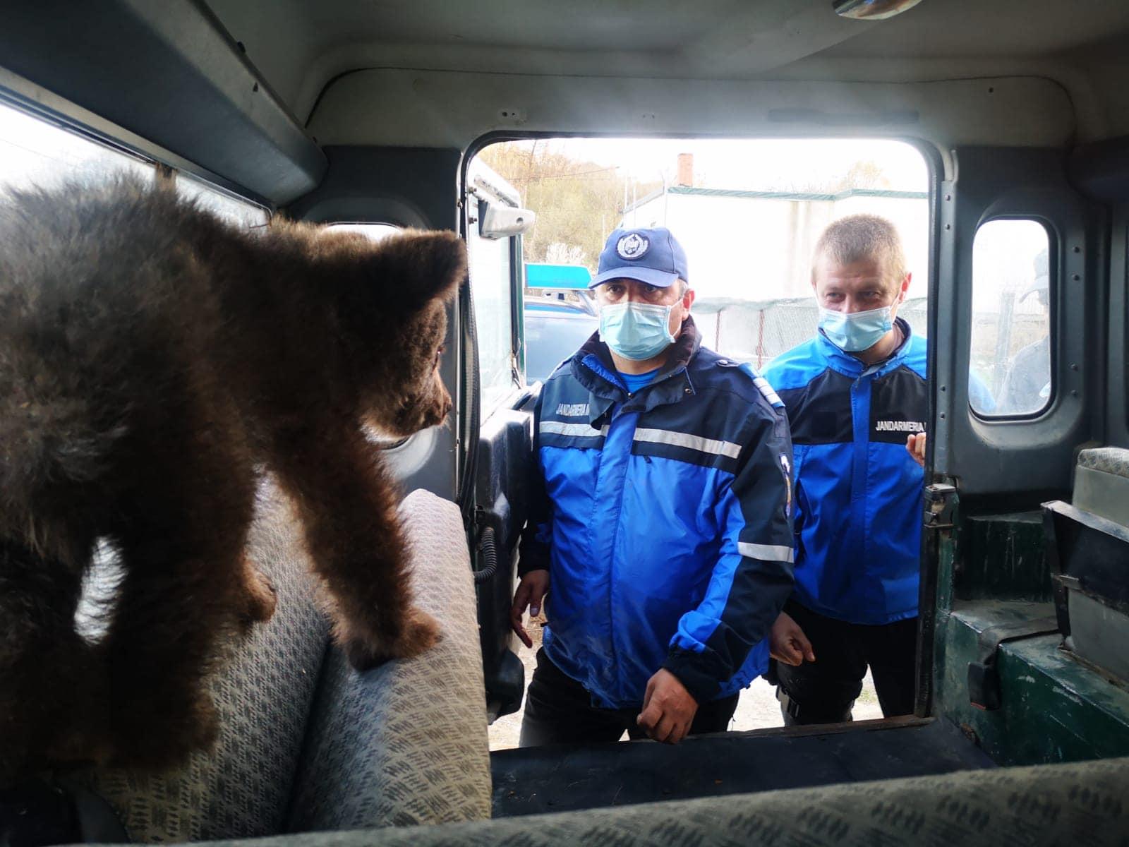 Doi pui de urs răniți au fost salvați de jandarmi