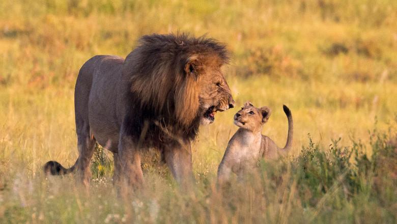 Un leu mascul se joacă şi rage la un pui de leu în savană