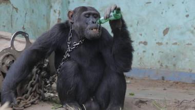 cimpanzeul tarzan bea o bere