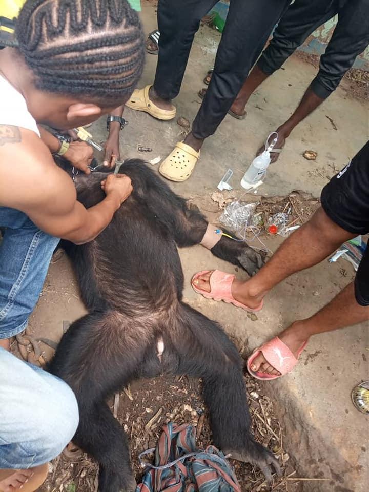 cimpanzeul tarzan