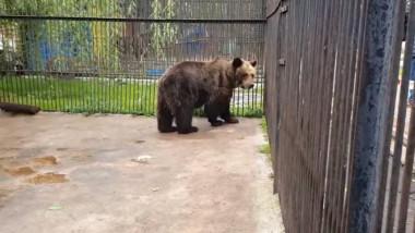 ursoaica in cusca