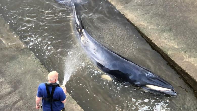 balena tamisa