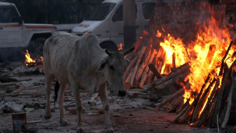 Vacă India Covid Coronavirus