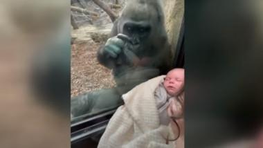 gorila mama