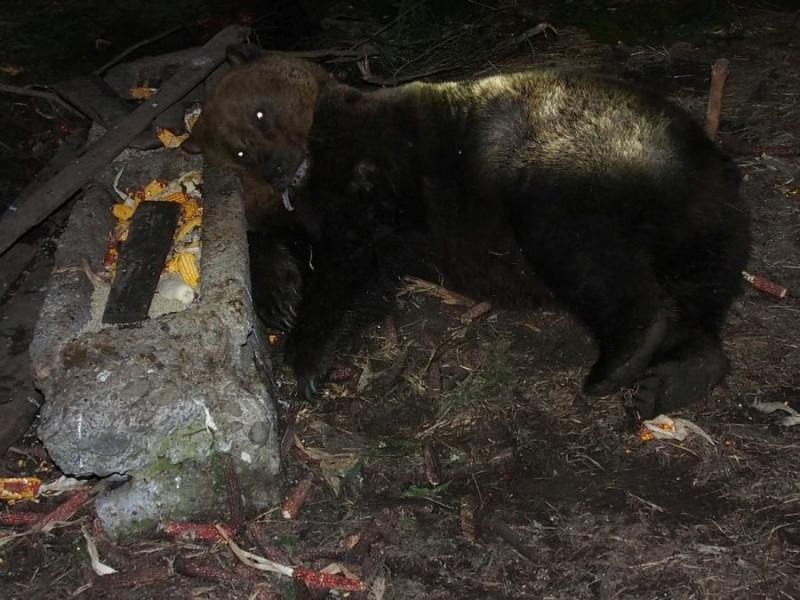 urs-impuscat-la-troaca