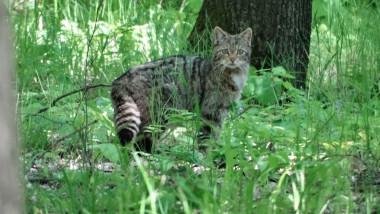 pisica salbatica vaslui 2