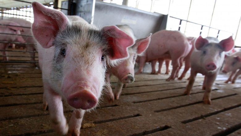 Noi reguli pentru creșterea porcilor: nu mai pot fi hrăniți cu resturi alimentare, iar la ei se intră cu încălțăminte dezinfectată