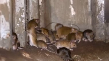 Șoareci
