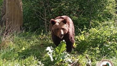 ursoaica cu num fb