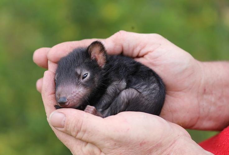 Primii diavoli tasmanieni s-au nascut dupa 3.000 de ani in salbaticie, in Australia