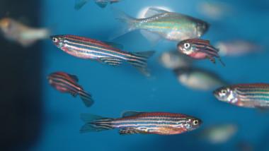 Zebrafish (Danio rerio) aquarium fish