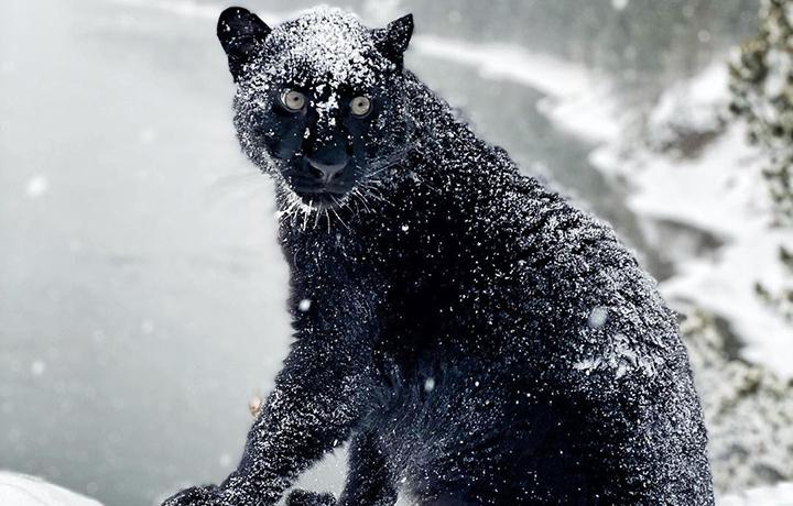 Imagini senzationale cu o pantera neagra care se joaca in zapada, in padurile siberiene