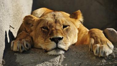 leoaică cu botul pe labe tristă