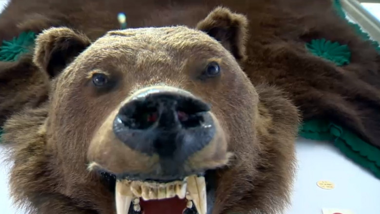 trofeu urs vanat de ceausescu muzeul cinegetic sf gheorghe
