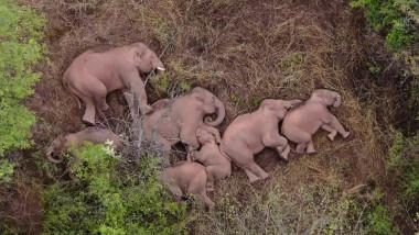 Imagini spectaculoase cu cei 15 elefanți migratori din China care se odihnesc după călătoria de 500 km