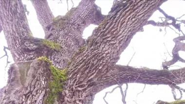 Povestea Castelului Teleki și a fabulosului stejar din curtea lui, al doilea ca mărime și vechime după cel din Borzești