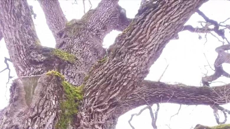 stejarul de la posmus