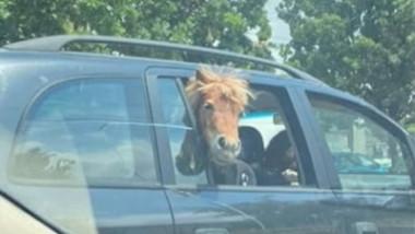 ponei in masina
