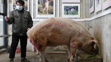 A murit porcul care a supravițuit după cutremurul din 2008