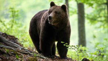 urs brun in padure
