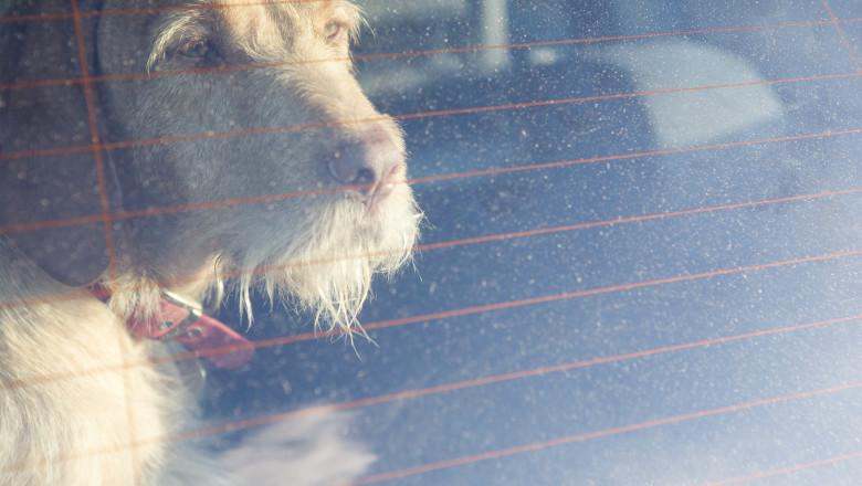 Pet dog waiting in a car